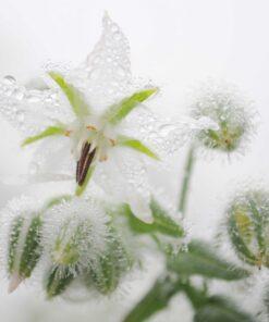 Drei Ansichtskarten mit Blumen (Mohn, Glockenblumen, Kerbel) aus dem Sortengarten